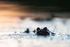 Erdkröte (MichaelMerl) Tags: erdkröte bufo nikon toad spring water sunset