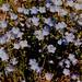 Nemophila menziesii - Boraginaceae
