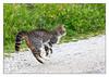 """""""Fat tail"""" running! (Joao de Barros) Tags: joão barros cat animal"""