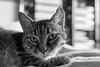 IMG_9525 (::nicolas ferrand simonnot::) Tags: sigma 1835 mm f18 dc hsm art 2015 | 9 blades aperture paris 2018 bokeh cat pet depth field dof portrait black white monochrome lght shadow contrast
