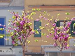 Hug me (lebosq) Tags: spring bloom flowers pozzuoli fiori alberi abbracci