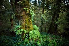 spring ferns (sebboh) Tags: carlzeisscontaxg21mmf28biogon sonya7kolariut zeissrokkorfrankenlens forestpark tree ferns portland oregon pdx green spring