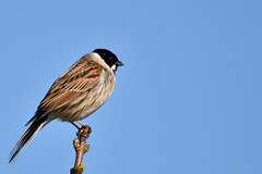 Reed Bunting (42jph) Tags: bird wildlife nature nikon d7200 sigma 150500 uk england northumberland st marys old hartley