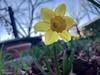 Che Narciso! (Fede Z.) Tags: narcissus flower fiore primavera spring narciso