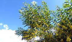 Mimosa (mira66) Tags: spain catalunya beach seaside walk mimosa