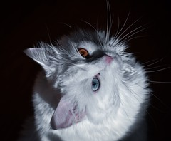 The Eyes (nrgilles36) Tags: lighting blue colors eyes whitecat cats cat