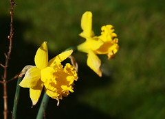 DSC_8970 Daffodils (PeaTJay) Tags: nikond750 reading lowerearley berkshire macro micro closeups gardens outdoors nature flora fauna plants flowers daffodils