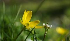 Duo de printemps (passionpapillon) Tags: macro fleur flower fior flor fiori printemps springtime primavera jaune yellow ficairefausserenoncule passionpapillon 2018