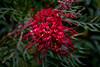 копия-00052 (bagira2018) Tags: австралия australia plantsofaustralia grevillea grevilleabanksii цветы гревиллея банксии