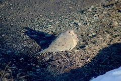 Mourning Dove Sunning Itself 001 - Zenaida Macroura (Chrisser) Tags: birds bird doves dove mourningdoves mourningdove zenaidamacroura nature ontario canada canoneosrebelt6i canonef75300mmf456iiiusmlens columbidae