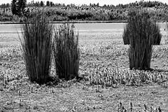 the ghillies 2 (negrominay) Tags: juncus juncos nature grass plants outdoor chile peñuelas plantas verde hierba bw bn mono monochrome monochromatic monocromo monocromático canon f18 50mm ƒ130 1160 naturaleza daylight campo field sky wood tree blackwhite blancoynegro blanconegro canoneos7d canonef50mmf18stm blackandwhite