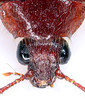 Artematopus2017-12-19bza_6364c2 (mcclarinj) Tags: artematopus artematopodidae baeza napo ecuador jimmcclarin