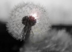 Dandelion Sundown B/W..... (Diana Kae) Tags: dandelion flower weed missouri kansascity landscape bw lensflare blackandwhite dianaobryan dianawhite dianakae peaceful nature upclose macro