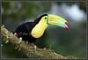 D75_8400l (Venumi) Tags: bird keel billed toucan