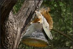 P1350180  Squirrel (felicitydawn) Tags: squirrel animal feeder wildlife