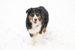 Snowy Echo (sturner404) Tags: spring snow march 2018 jax echo australianshepherd aussie dog