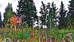 A Surprising Encounter (mariagrandi985) Tags: grandtetonnationalpark wyomingusa trees pinetrees plants wildflowers deer nature ilovenature landscape wildanimal digitalmanipulation digitalpainting digitalart digitalartistry artdigital photomanipulation photopainting photodigitallymanipulated composition perfectcomposition outdoor outinthegreen uploadedonmarch232018 mariagrandi985 wildplants colors colorful