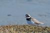 FIN_0864 (dominique.leymarie) Tags: charadriidés charadriiformes charadriushiaticula commonringedplover grandgravelot oiseau