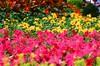 47400019 (landscape_Portrait_Bokeh) Tags: eos5 fujifilmvelvia50 tokina film hongkong hongkongflowershow2018 nightphotography flower macro bee slidefilm