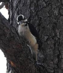 hairy woodpecker mt lemmon (Pete Read) Tags: hairy woodpecker mt lemmon arizona