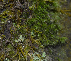 Mosses (Kyle Hartshorn) Tags: cold winter unitedstates northamerica ohio lickingcounty blackhandgorge lickingriver fieldwork gorge river botany plant plants bryology bryophytes moss lichens lichen