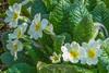Primrose (Derek.P.) Tags: flora wildflower wildflowers primrose primula vulgaris pottericcarr potteric nature naturalworld blumen fleurs fiori flores 花 フラワーズ цветы 菌類 грибы
