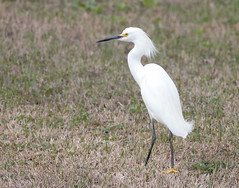 2018 Birds of the Mississippi River Delta (3) (maskirovka77) Tags: neworleans louisiana unitedstates us river delta bird osprey fisheagle baldeagle shrike pelican egret