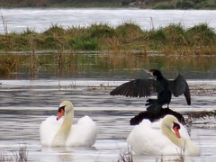 Black White Beauties 30-03-2018 (gallftree008) Tags: blackcormorant whiteswans malahideestuary swords codublin ireland30032018 tidal river swamp hightide flood flooding birds nature black blackwhite bird avian county classic co coast cormorant swans swan flow fingal grass ireland irish irishwildlife malahide march naturesbeauties naturescreations thewardriver water ward wildlife contrast white amazingnature wing wings thegoodthebadtheugly thegood thebad theugly good bad ugly
