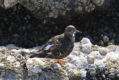 Ruddy Turnstone (polarseamonster) Tags: belgium oostende harbor beach water shore shells bird sea north turnstone ruddy ruddyturnstone