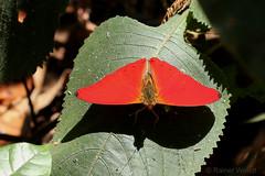 IMG_5892 Cymothoe mabillei ♂ (Raiwen) Tags: cymothoemabillei cymothoe limenitidinae nymphalidae lepidoptera butterfly westernredclider guinea westafrica