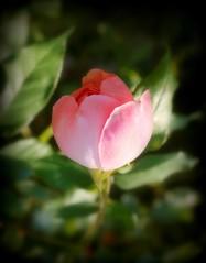 Bocciolo di rosa (dona(bluesea)) Tags: bocciolodirosa rosebund ortobotanico botanicalgarden palermo sicilia sicily