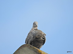 Ruffled(Explored) (pete Thanks for 5 Million Views) Tags: nikon bird blue dove