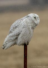 Snowy Owls in the rain (TreeTree2012) Tags: snowyowl rain