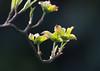 Awaking (herman hengelo) Tags: amerikaansekornoelje cornusflorida spring knoppen bloesemknop garden hengelo thenetherlands