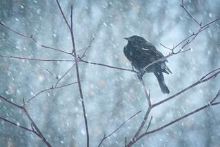 Red-Winged Blackbird: