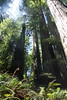 Prehistoric (keppet) Tags: redwoods jamesirvinetrail jamesirvine prairiecreekstatepark prairiecreek statepark california coastalredwoods majesty towering giants