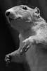 Squirrel Missing Fingers (peterkelly) Tags: digital bw canon 6d peleeislandheritagecentre peleeisland ontario canada northamerica taxidermy stuffed foxsquirrel