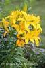 Benton Daylilly Farm (5) (Framemaker 2014) Tags: benton daylily farm garden flowers columbia county pennsylvania endless mountains united states america