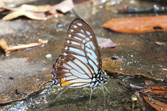 Graphium xenocles (Great Zebra) (GeeC) Tags: animalia arthropoda butterfliesmoths cambodia graphium graphiumxenocles greatzebra insecta kohkongprovince lepidoptera nature papilionidae papilionoidea tatai truebutterflies