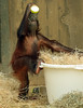 orangutan Sabbar Ouwehands BB2A1458 (j.a.kok) Tags: orangutan orangoetan ouwehands animal aap ape primaat primate sabbar mammal monkey mensaap zoogdier dier asia azie