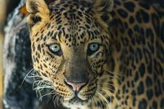 _IMG4189 (Hawki Pierce) Tags: animalwildlifepark bigcats brookings closefocus macro wildlife smcpentaxda300mmf4edifsdm birds lions fox leopard gazelle