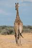 Elegance, Etosha (reinaroundtheglobe) Tags: giraffe animalsinthewild animal safarianimal etoshanationalpark namibia daytime nopeople sunlight bluesky