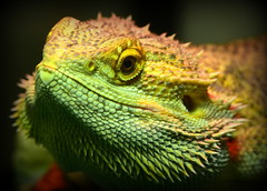 Macro Mondays - Once Upon A Time - Dragon!!! (zendt66) Tags: zendt66 zendt nikon d7200 105mm nikkor bearded dragon fairy tale onceuponatime macromondays macro mondays