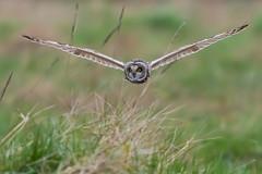 Short Eared Owl March 2018 (jgsnow) Tags: bird raptor owl shortearedowl flight hunting