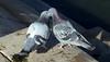 Kissy, Kissy -- Rock Doves (Columba livia); Albuquerque, NM, Tingley Beach Park [Lou Feltz] (deserttoad) Tags: bird wildbird dove nature newmexico park refuge desert behavior pigeon