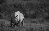 One-horned Rhino (pointn'click) Tags: kaziranga wildlife grasslands forest animals birds sanctuary rhino
