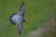 Peregrine (colstond) Tags: peregrine falcon raptor