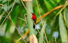 Crimson Sunbird (Aethopyga siparaja) male (Steve Arena) Tags: dawnamountainrange khlonglan khlonglannationalpark khlongnamlai kamphaengphet thailand thailandbirding2017 bird birds birding 2017 nikon d750 crimsonsunbird aethopygasiparaja sunbird