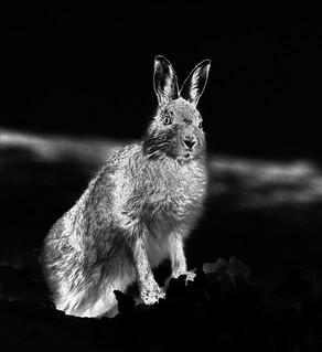 Mountain Hare edited