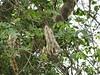 Albizia lebbeck_SGNP1 (Alka Khare) Tags: albizia fabaceae
